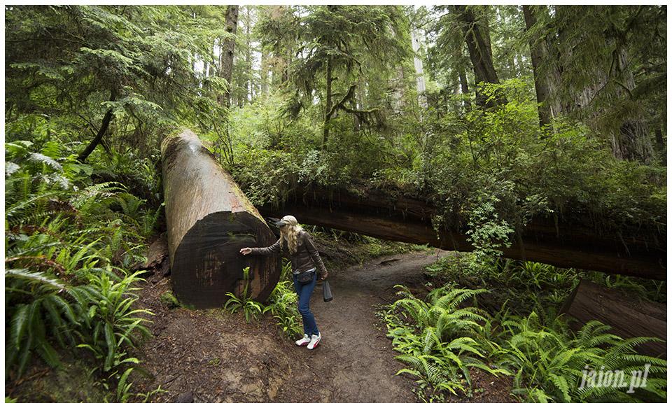 blog_o_ameryce_ameryka_usa_redwoods_6