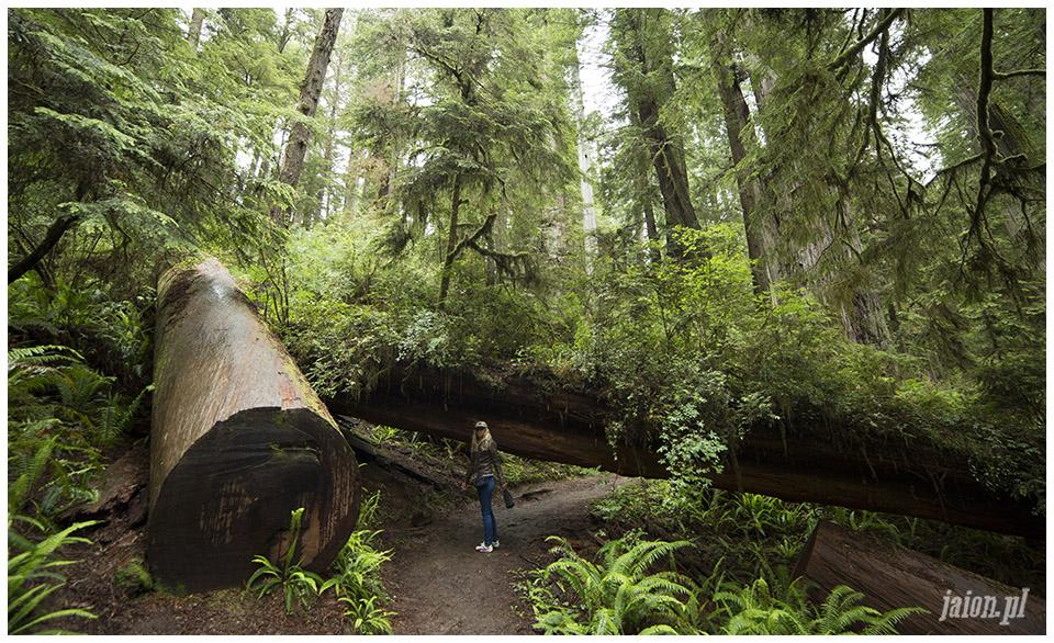 blog_o_ameryce_ameryka_usa_redwoods_2